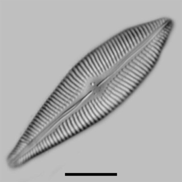 Gomphoneis Apiculata Iconic