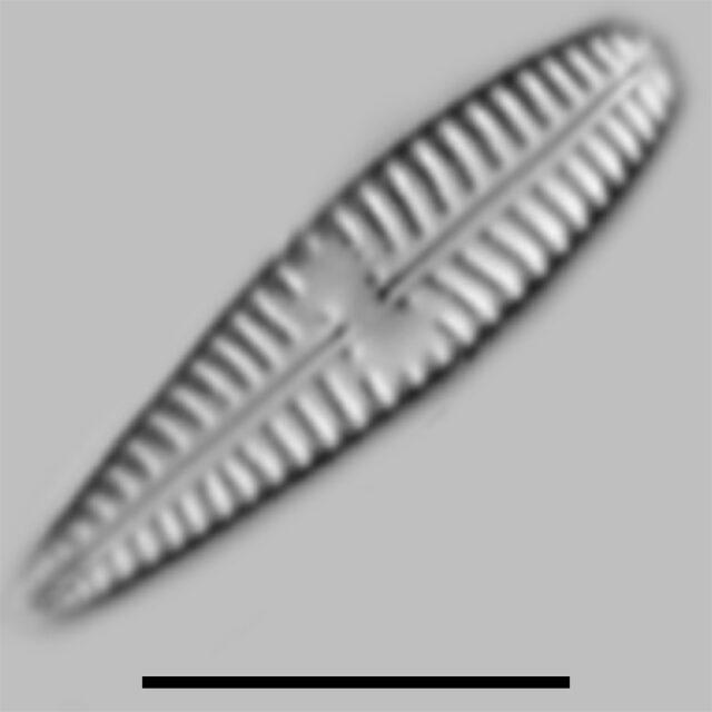 Gomphoneis Pseudokunoi Iconic