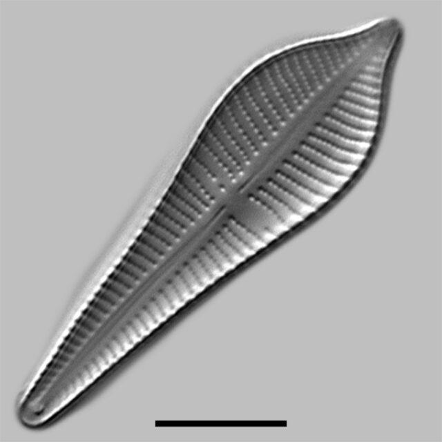 Gomphonema Apiculatum Iconic