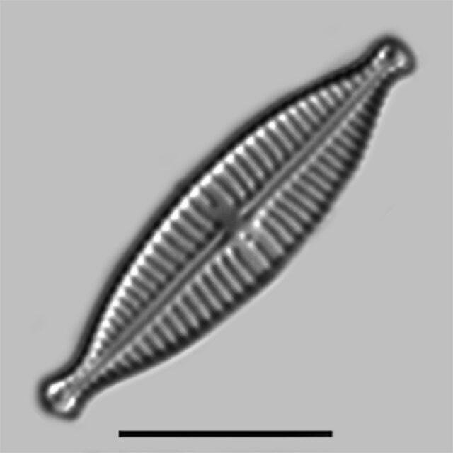 Gomphonema Lagendula Iconic