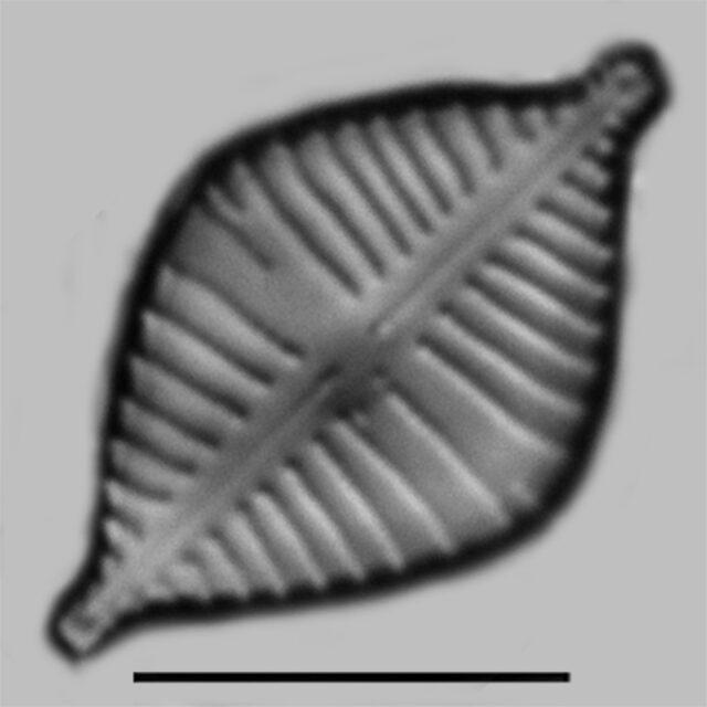Gomphonema Montezumense Iconic