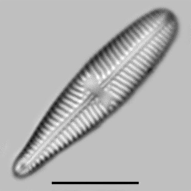 Gomphonema Olivaceoides Densestriata Iconic2