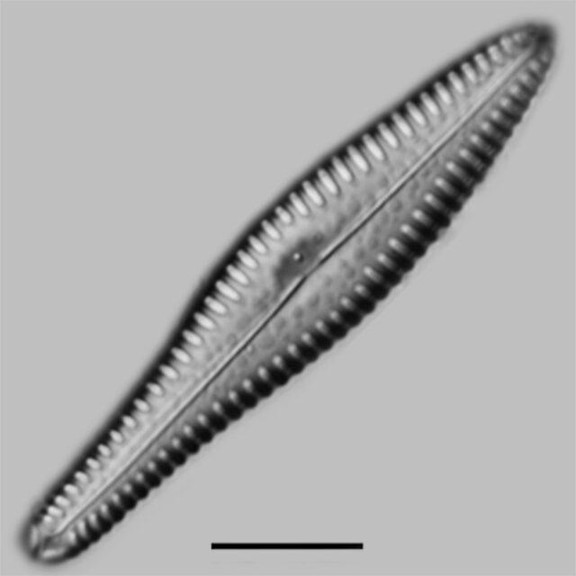 Gomphonema Reimeri Iconic