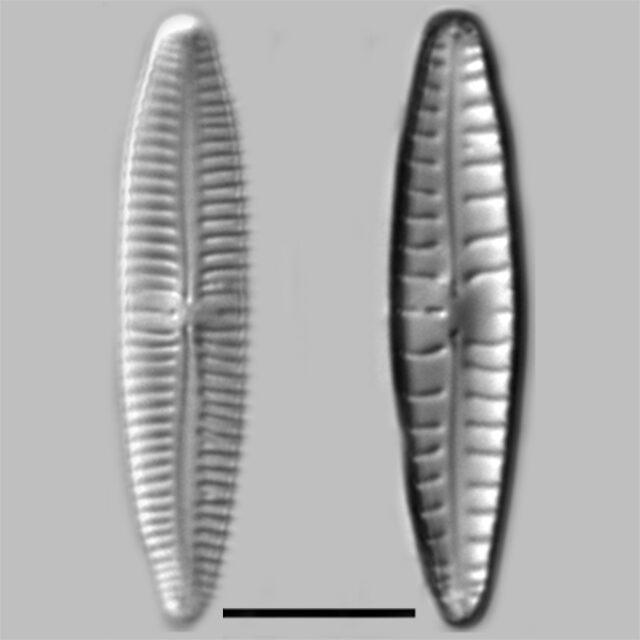 Gomphonema Sarcophagus Iconic