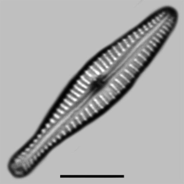 Gomphonema Submehleri Aac