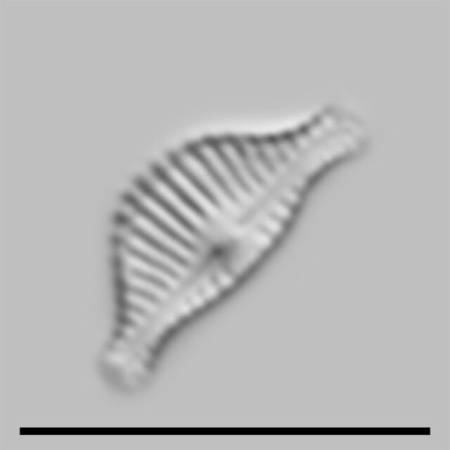 Halamphora Thumensis Iconic