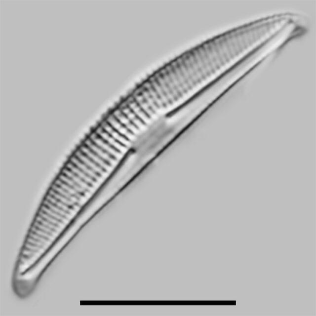 Halamphora Veneta Iconic