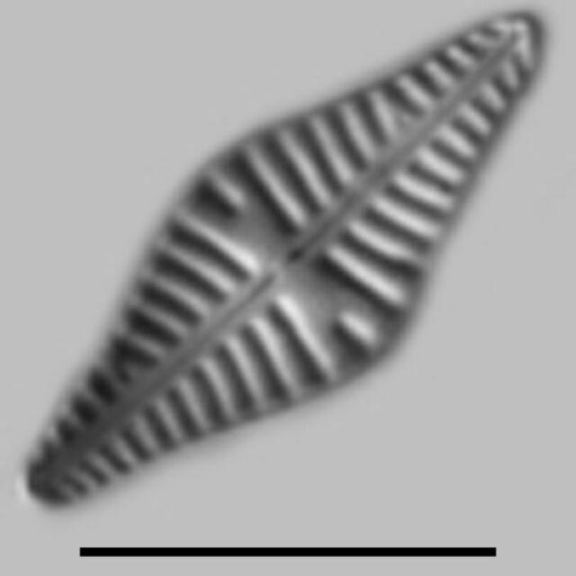 Hippodonta Gravistriata Aac