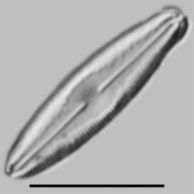 Humidophila Perpusilla Iconic
