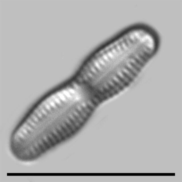 Humidophila Undulata Iconic