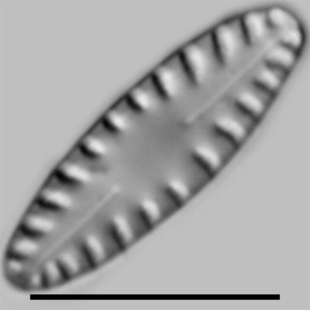 Hygroptera Balfouriana Iconic