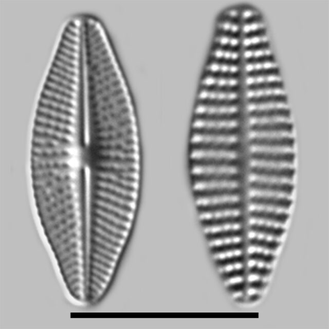 Karayevia Clevei Iconic