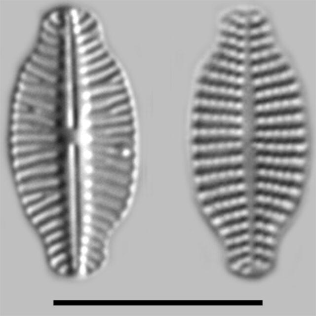 Karayevia Laterostrata Iconic