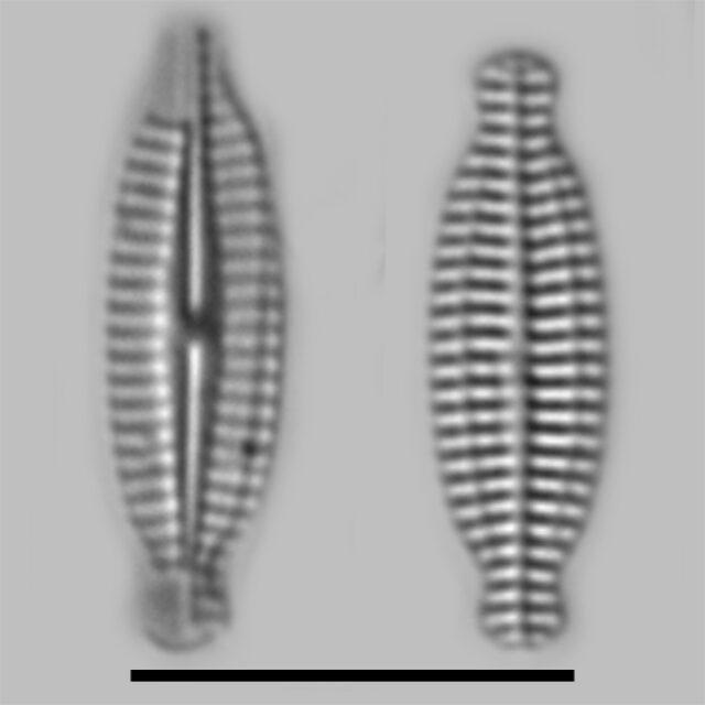 Karayevia Nitidiformis Iconic