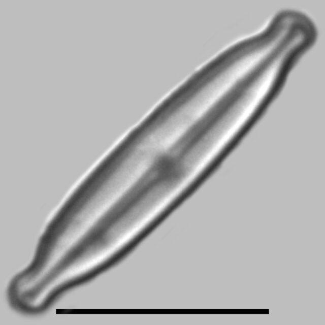 Kobayasiella Micropunctata Iconic