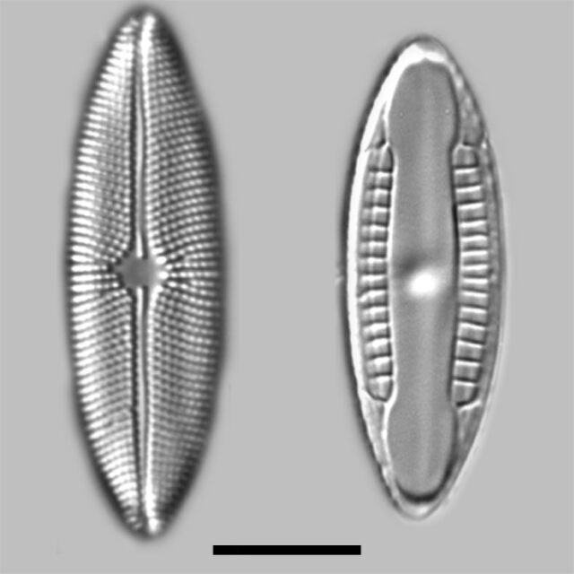 Mastogloia Elliptica Iconic