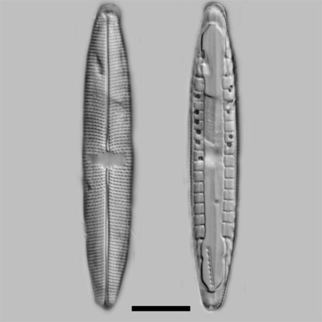 Mastogloia Smithii Lacustris Iconic
