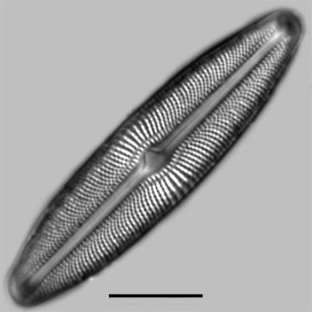 Muelleria Agnellus Iconic