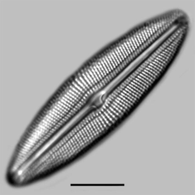 Muelleria Spauldingiae Iconic