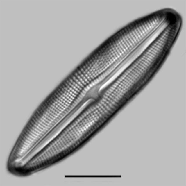 Muelleria Tetonensis Iconic