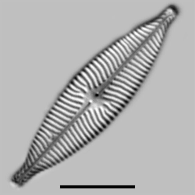 Navicula Capitatoradiata Iconic