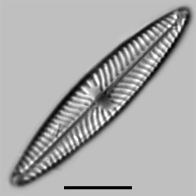 Navicula Cari Iconic