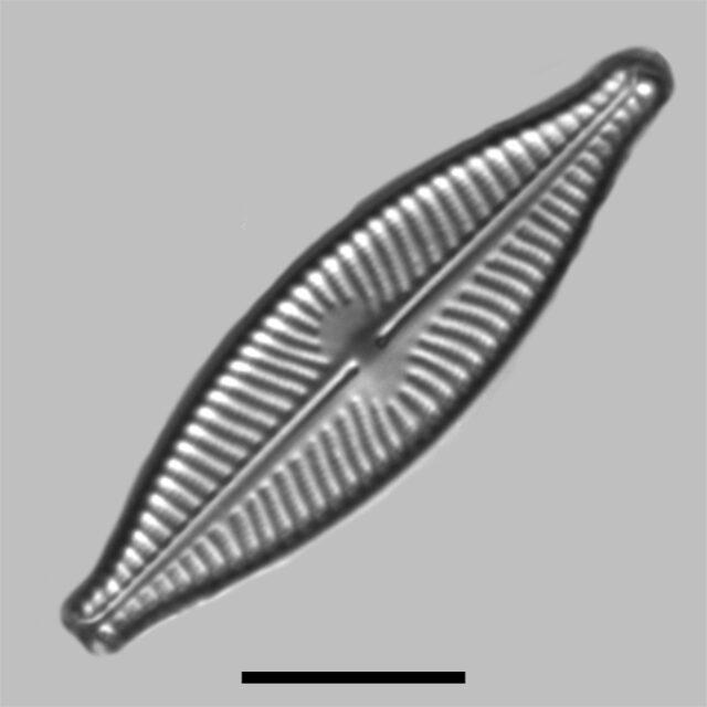 Navicula Caroliniae Iconic