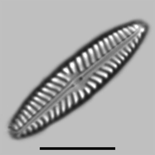 Navicula Cincta Iconic