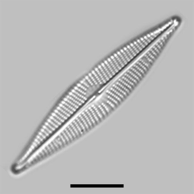 Navicula Cryptocephaloides Iconic