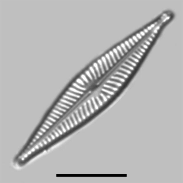 Navicula Cryptofallax Iconic