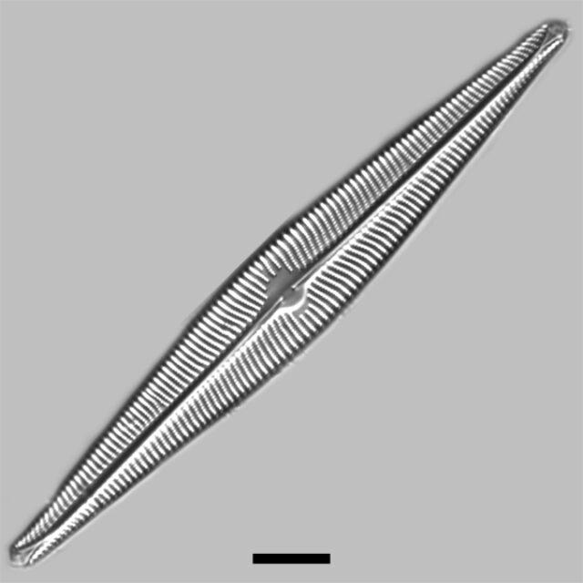 Navicula Galloae Iconic