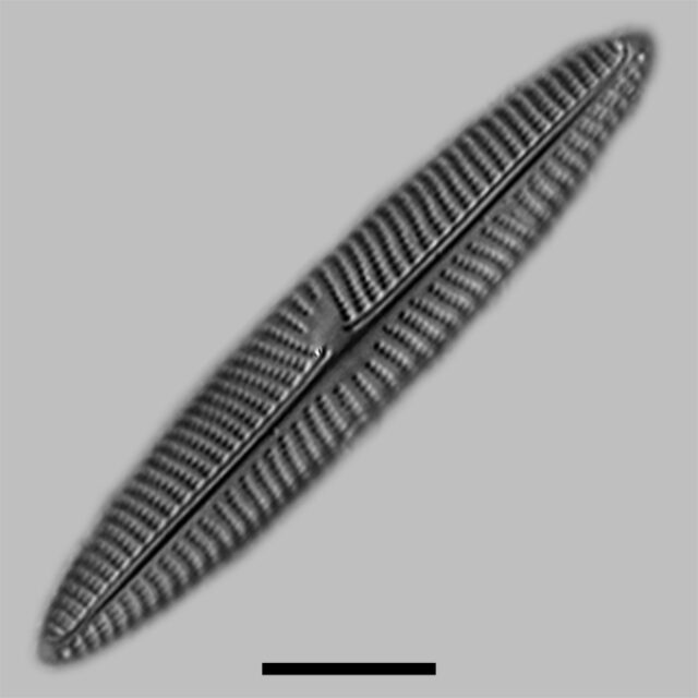 Navicula Geronimensis Iconic