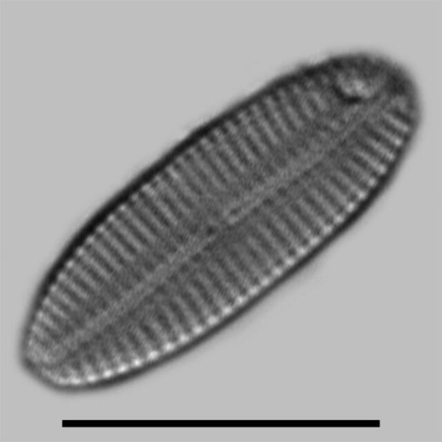 Navicula Hodgeana Iconic