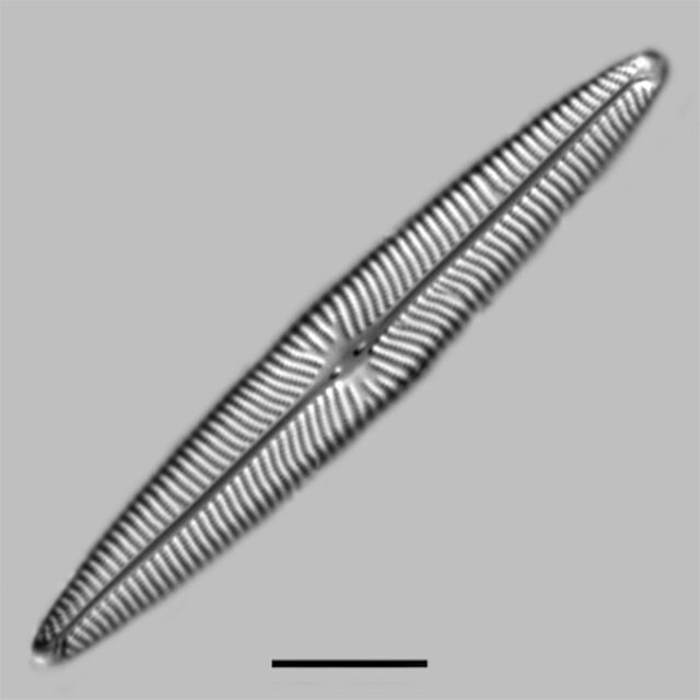 Navicula Margalithii Iconic