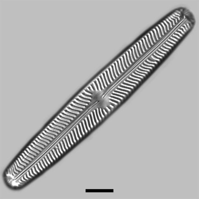 Navicula Oblonga Iconic