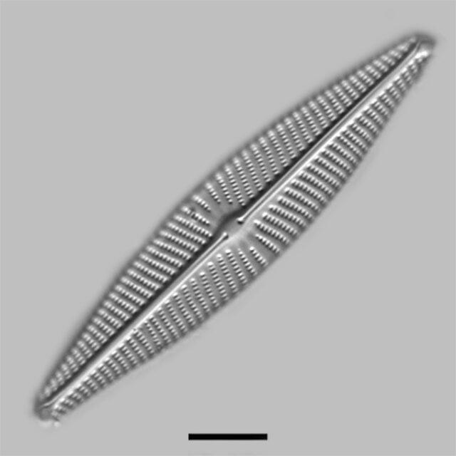 Navicula Peregrinopsis Iconic