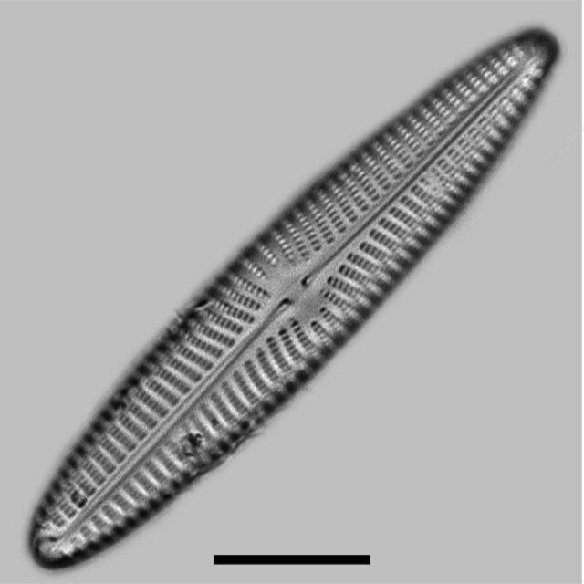 Navicula Perotii Iconic
