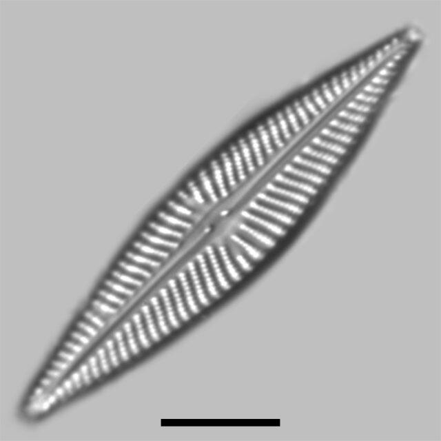 Navicula Pseudolanceolata Iconic