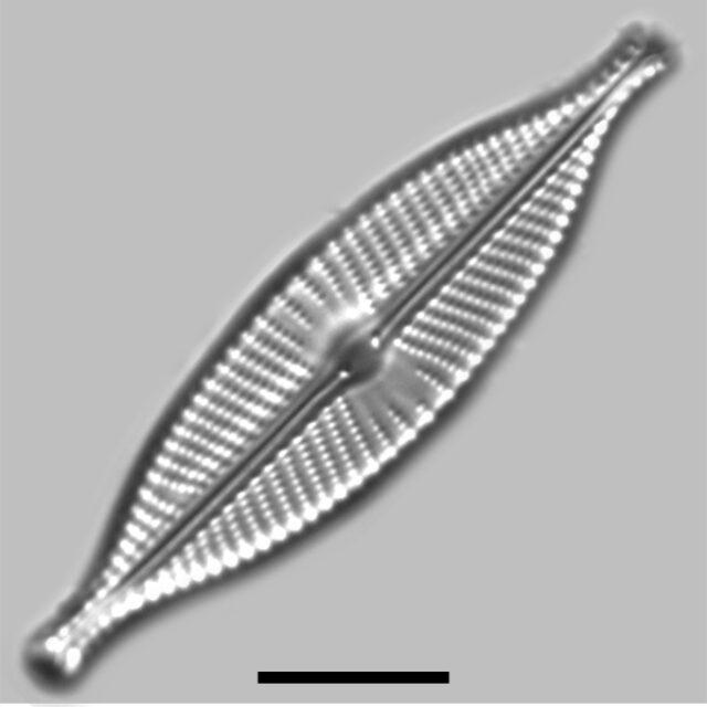 Navicula Rhynchotella Iconic