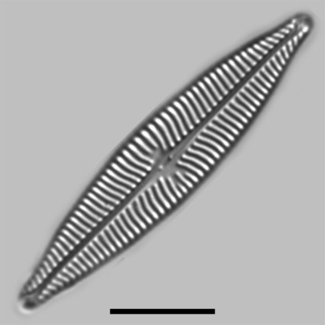 Navicula Schweigeri Iconic