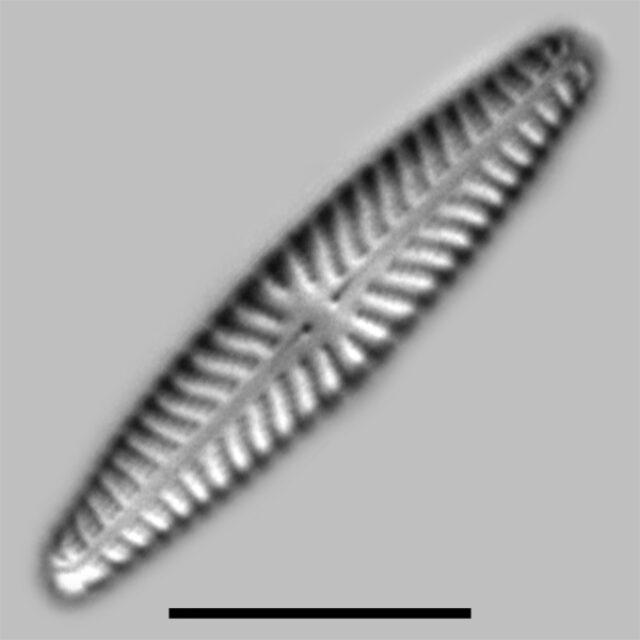 Navicula Seibigiana Iconic