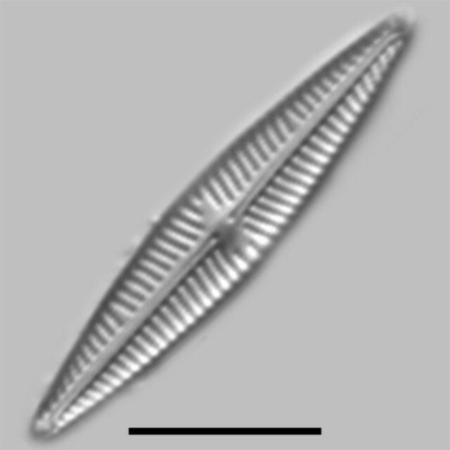 Navicula Staffordiae Iconic