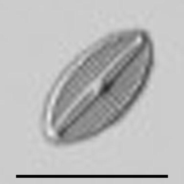 Navicula Subminuscula Gcaac
