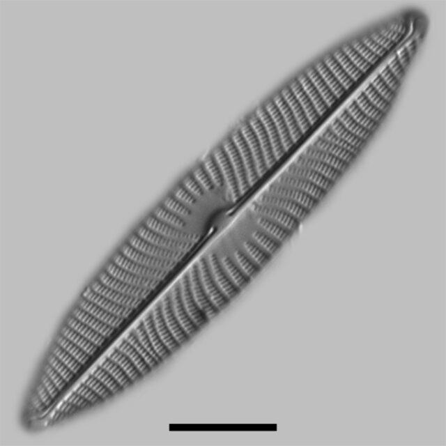 Navicula Virid Neomun Iconic