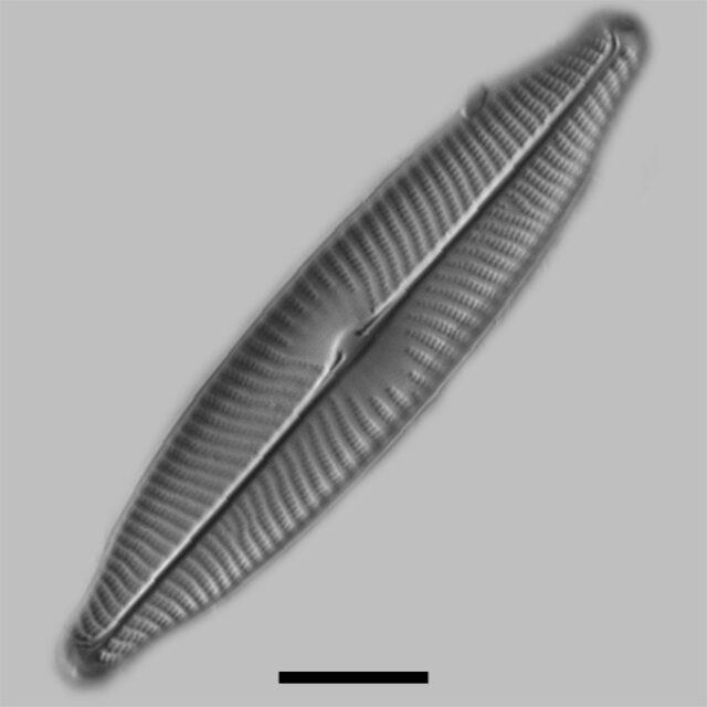 Navicula Viridula Iconic
