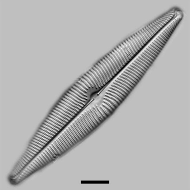 Navicula Vulpina Iconic