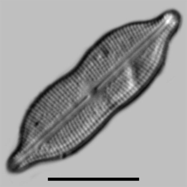 Neidiomorpha Binodiformis Iconic