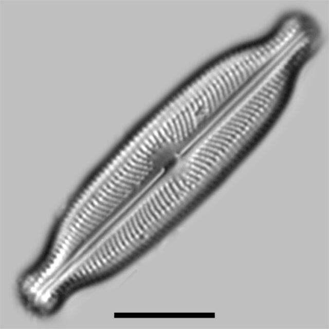 Neidiopsis Wulffii Iconic