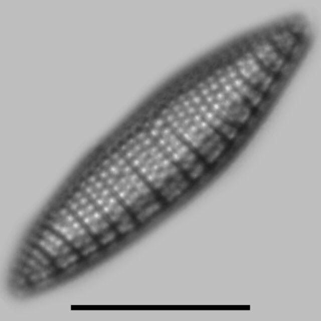 Nitzschia Amphibioides Iconic