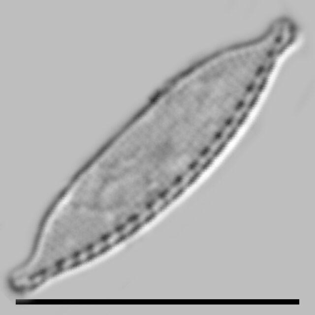 Nitzschia Microcephala Iconic